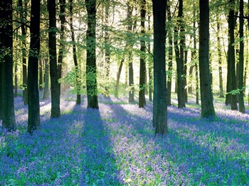 Bluebell Glades of the Trossachs, Scotland